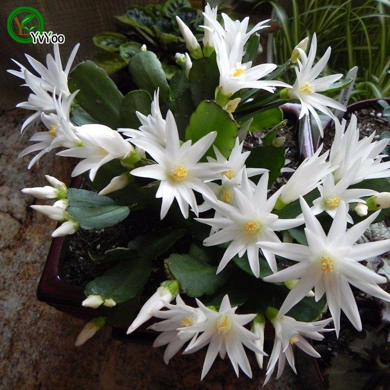 Sementes de cacto de caranguejo Sementes de Flores Interior Bonsai planta 30 partículas / lote F014