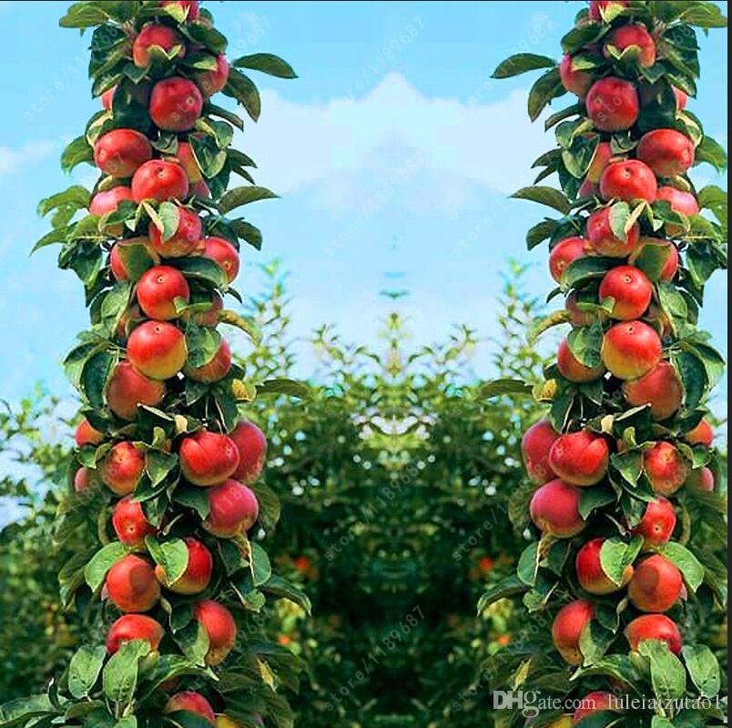 Bonsai Apple Tree Seeds Rare Fruit Bonsai Tree Sweet Meat-- Indoor ...