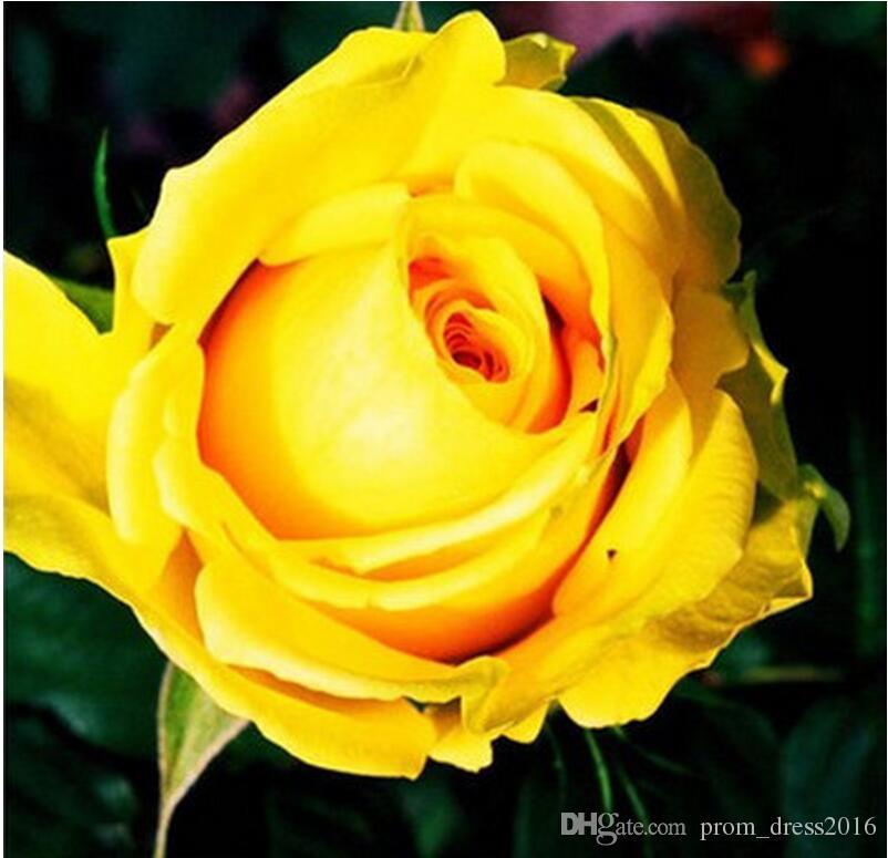2016 Livraison Gratuite Coloré Arc-En-Rose Graines Violet Rouge Noir Rose Jaune Rose Graines Plante / Jardin Belle Fleur graines HY1157