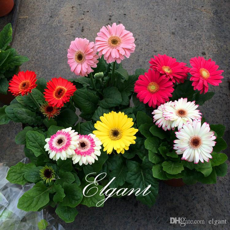 Gerbera Flower 20 Seeds Giant Perennial Daisy Flower Great For Cut