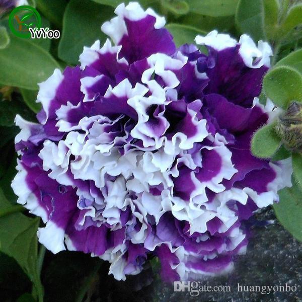 Graines de Pétunia Graines de Bonsaï Fleurs Très Parfumées 200 Particules / E021