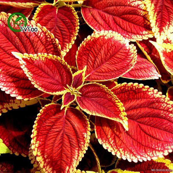 Rote Coleus-Samen-seltene Grassamen DIY Hausgartenanlage Einfach, 30 Partikel / Los w004 zu wachsen