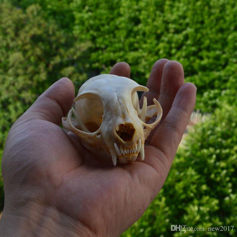 echte echte Tier Schädel Skelett Katze Präparatoren liefert Kunst Knochen Tierarzt Medizin