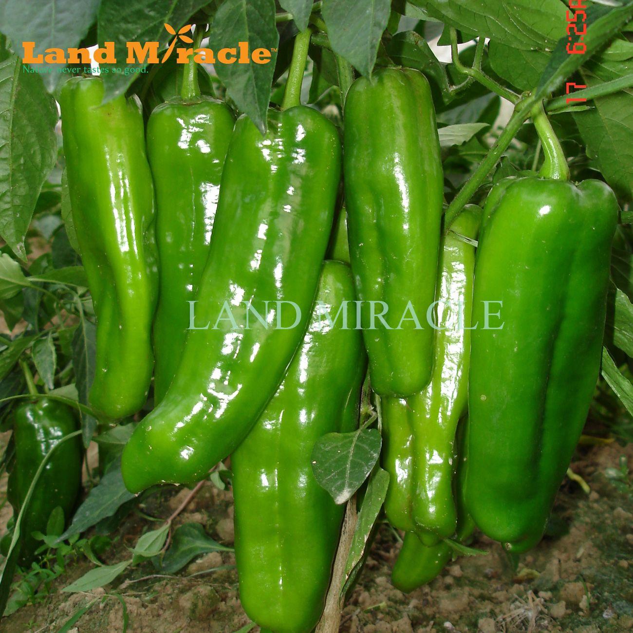 Semillas de pimienta de la piel verde gigante, 100 semillas, semillas de chile caliente de vegetales saludables deliciosas para la planta de jardín