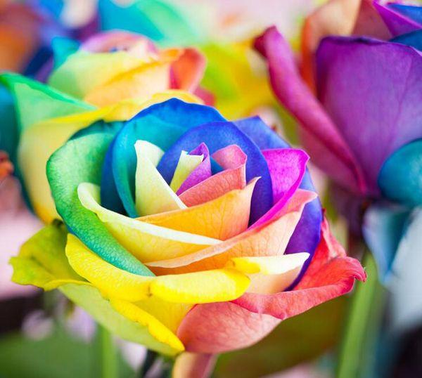 Best 100 seeds rare holland rainbow rose seed flowers for Holland rainbow rose seeds