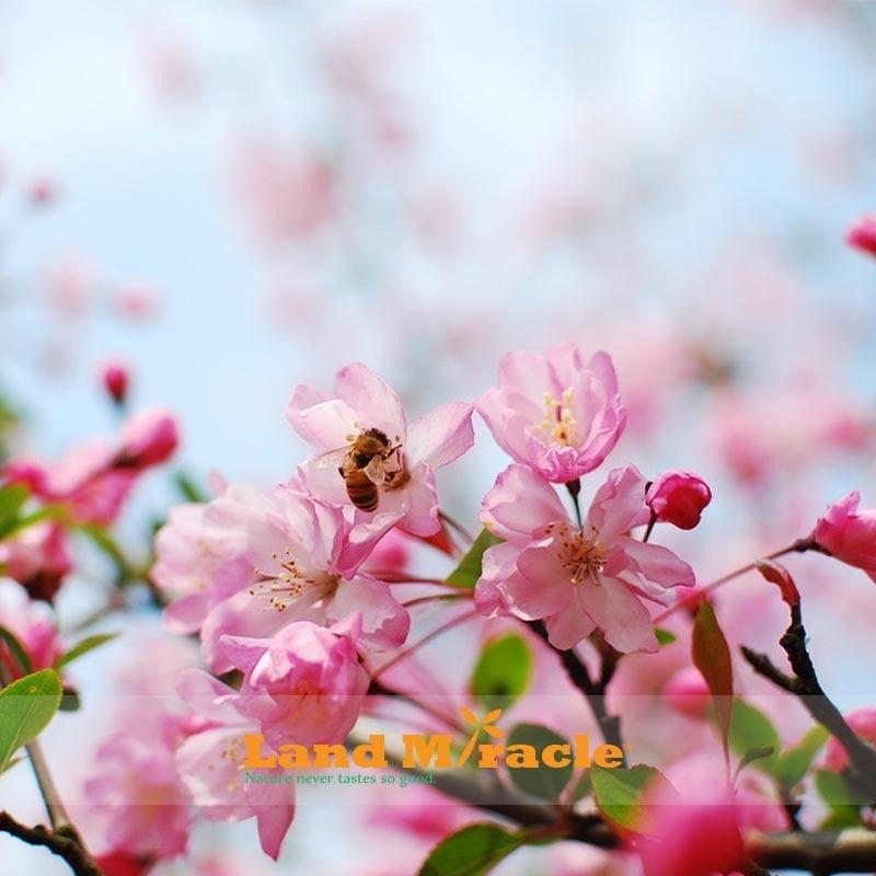 10 Sementes / pacote, Incrível Árvore De Cereja Rosa, Japonês Sakura Flor de Cerejeira Sementes de Árvores para DIY Jardim de Casa, Woody Cerejeira Flor árvore