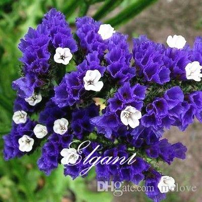 Statice blue purple limonium sinuatum flower 100 seeds easy to grow statice blue purple limonium sinuatum flower 100 seeds easy to grow annual cutflower can used for dry flower statice seeds limonium sinuatum seeds blue mightylinksfo