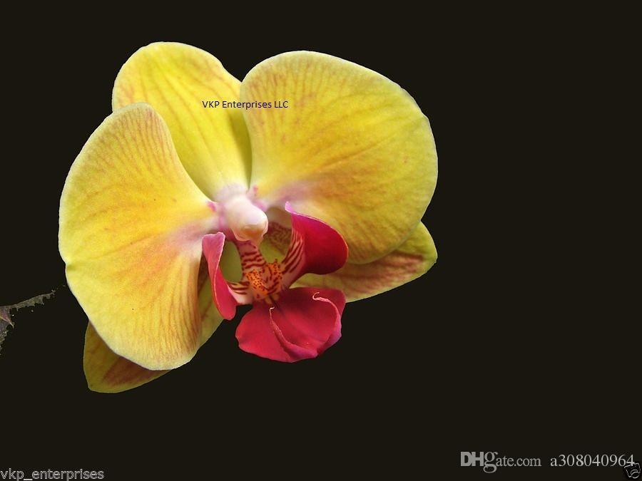 Amarelo Phalaenopsis traça orquídea flor de semente home cultivada jardim decoração planta f63