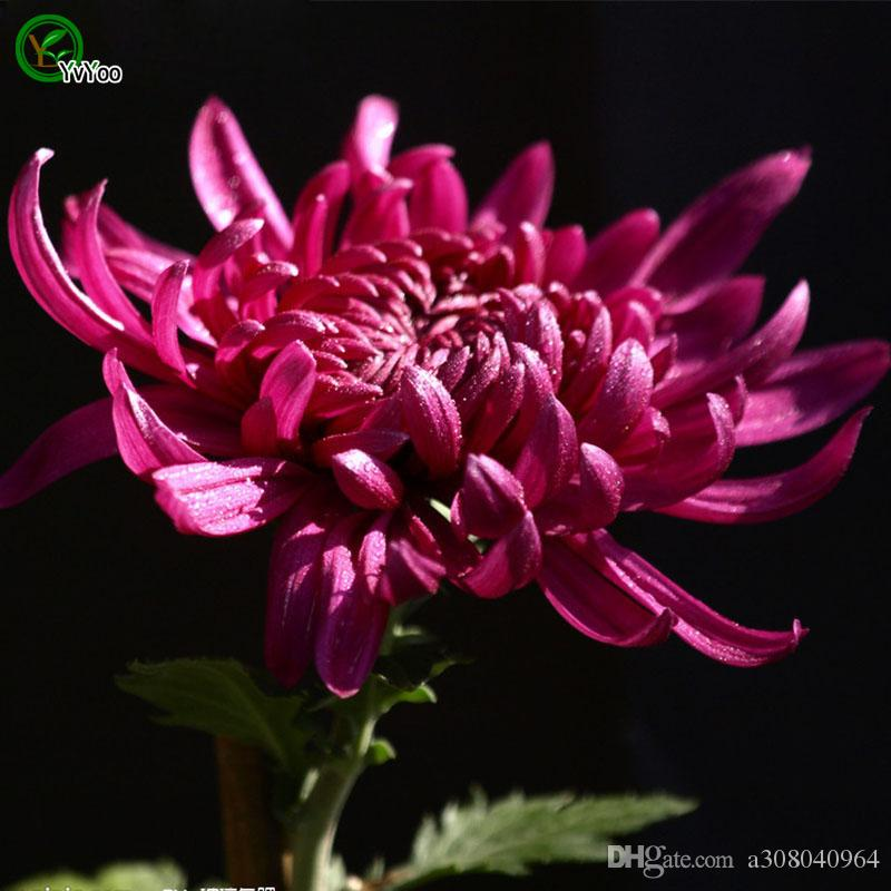 Bellissimo Red China Aster Seeds Seeds Seeds Bonsai Plant il giardino domestico 30 particelle / lotto W022