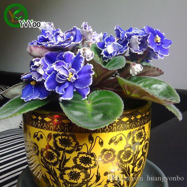 Multi color optional Violet Seeds Bonsai Seeds Garden Plants Flower Seeds Annual Herb 50 Particles / E022