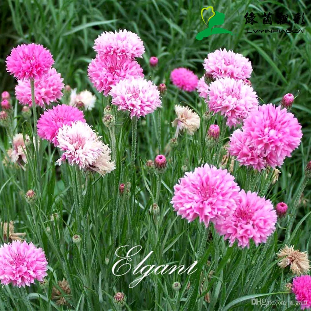 Pink Cornflower Flower 400 Seeds Bachelor Button Centaurea Cyanus
