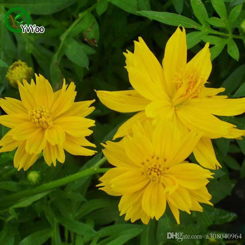 compre amarillo cosmos sulphureus semillas bonsai balcón de la