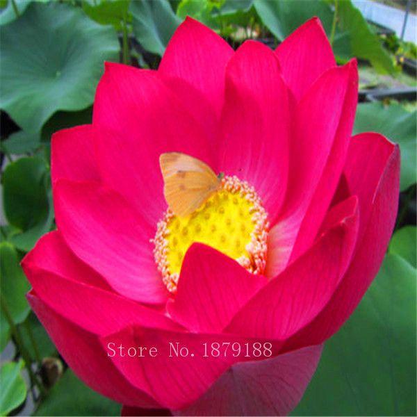 Multi color optional Lotus Samen Bonsai Balkon Blume Topf Samen DIY Hausgarten 10 Partikel / L097
