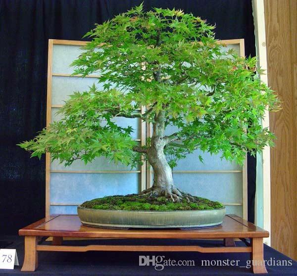 Best Seifu Seeds Bonsai Seeds Pack Dawn Redwood Bonsai Tree Grove Metasequoia Glyptostroboidesdiy Home Gardening Under 13 57 Dhgate Com