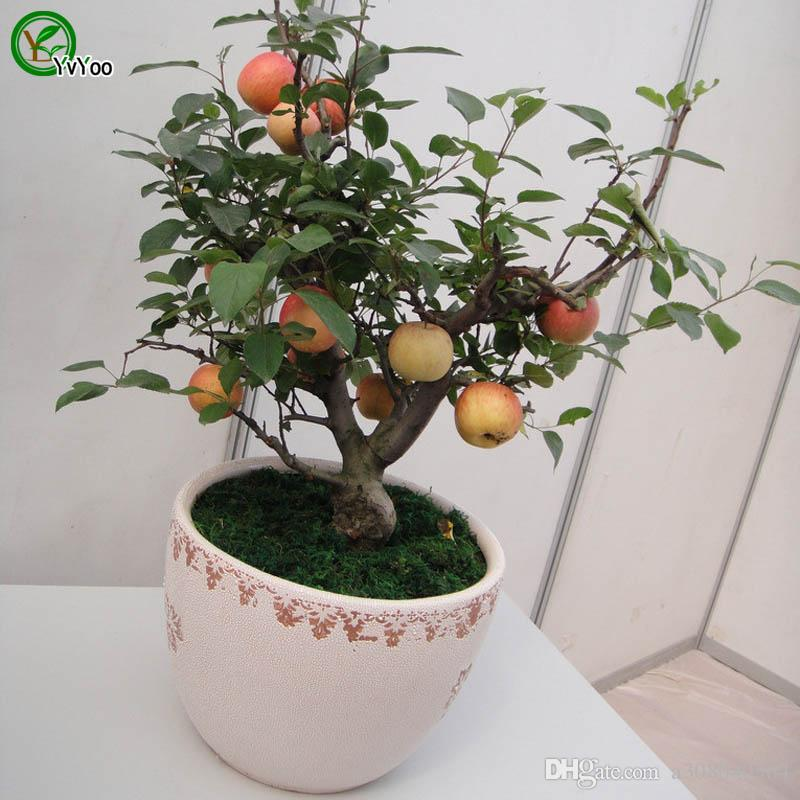 Contain vitamin fruits Apple Seeds Green Organic Vegetables and Fruit Seeds Delicious 30 Particles / V011