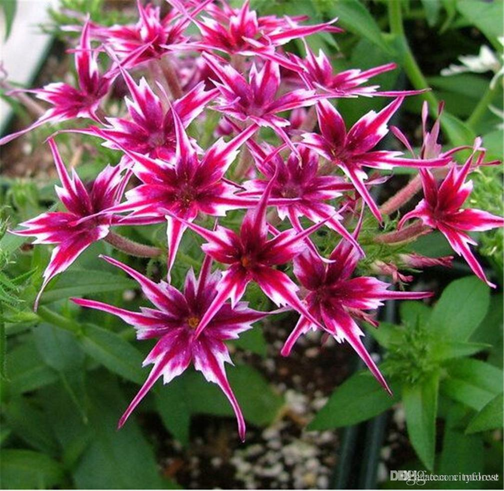 Online cheap phlox twinkle star flower seeds easy to grow from seeds online cheap phlox twinkle star flower seeds easy to grow from seeds colorful and vibrant lightly scented by melove dhgate izmirmasajfo