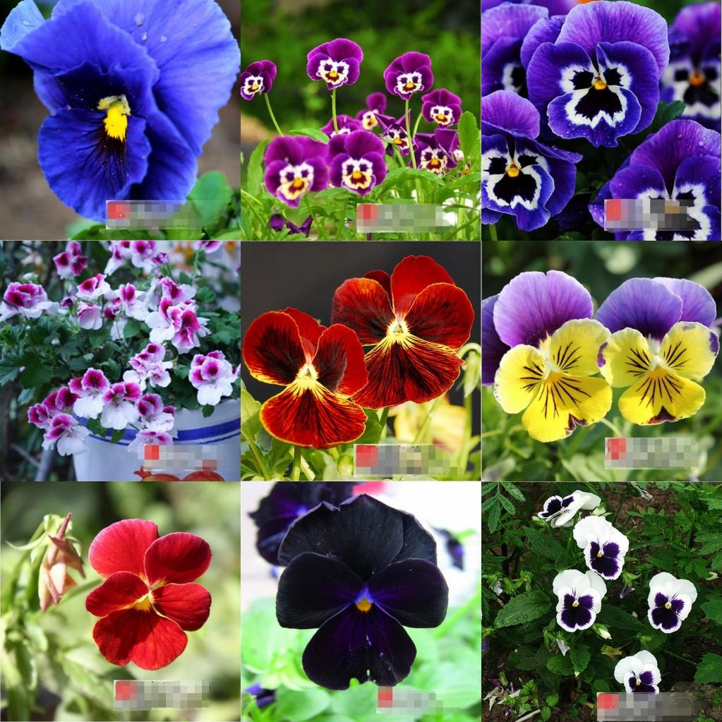 50 Pansy Seeds Pansy Faces Rose Seeds