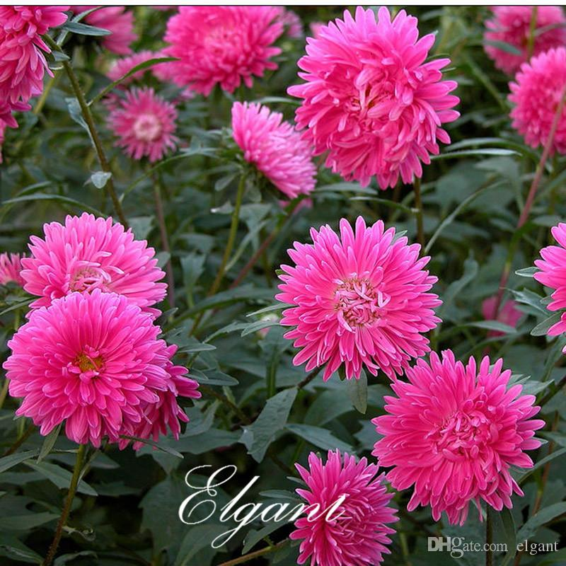 2018 pink chinse aster flower 200 seeds easy to grow cut flower 2018 pink chinse aster flower 200 seeds easy to grow cut flower variety popular diy home garden flowering plant from elgant 502 dhgate mightylinksfo