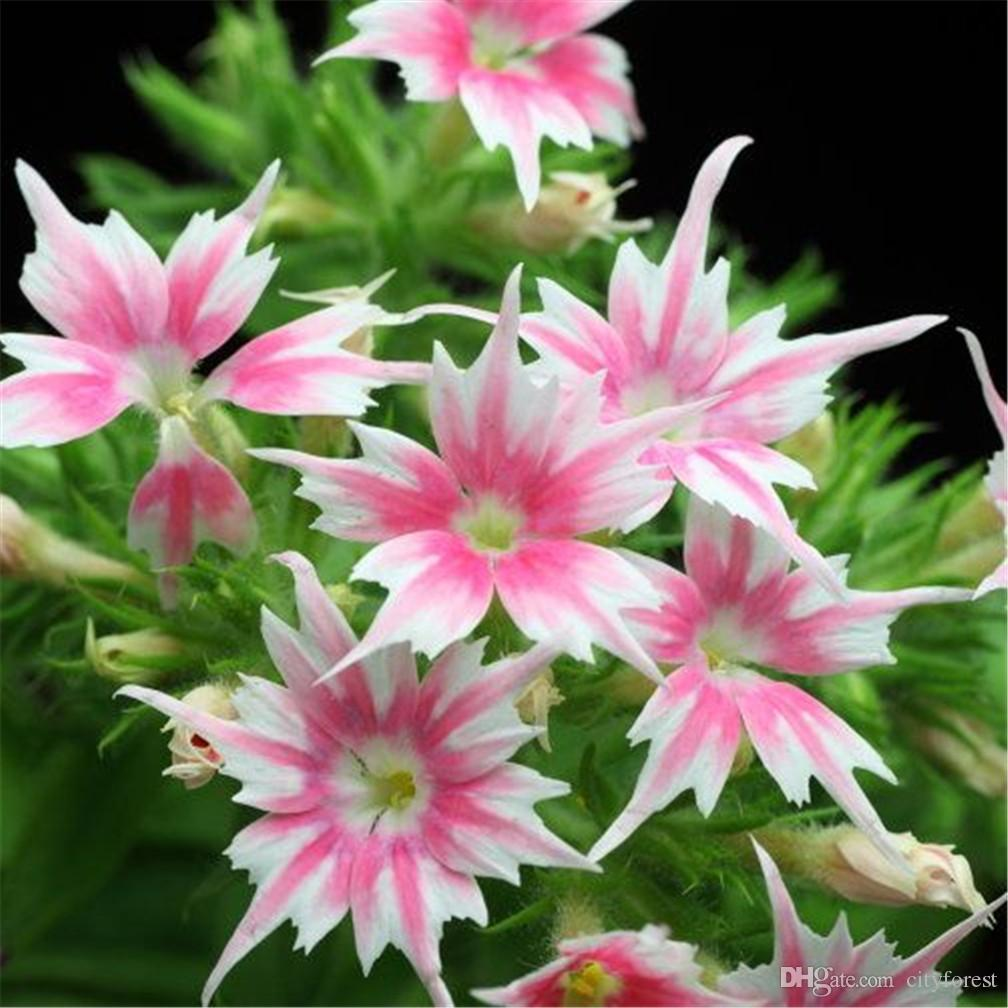Phlox Twinkle Star Flower Seeds Easy To Grow From Seeds Colorful And
