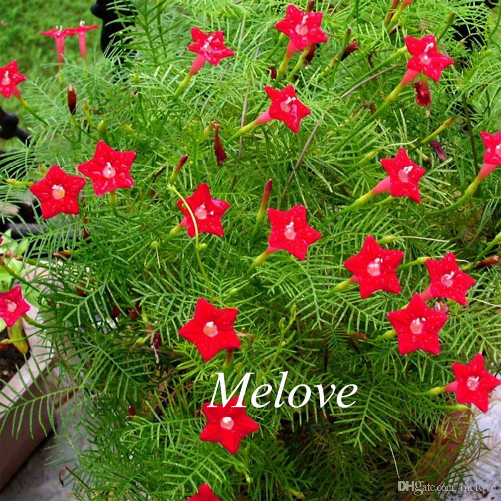 2018 20 Red Cypress Vine Flower Seeds Star Glory Hummingbird Flower