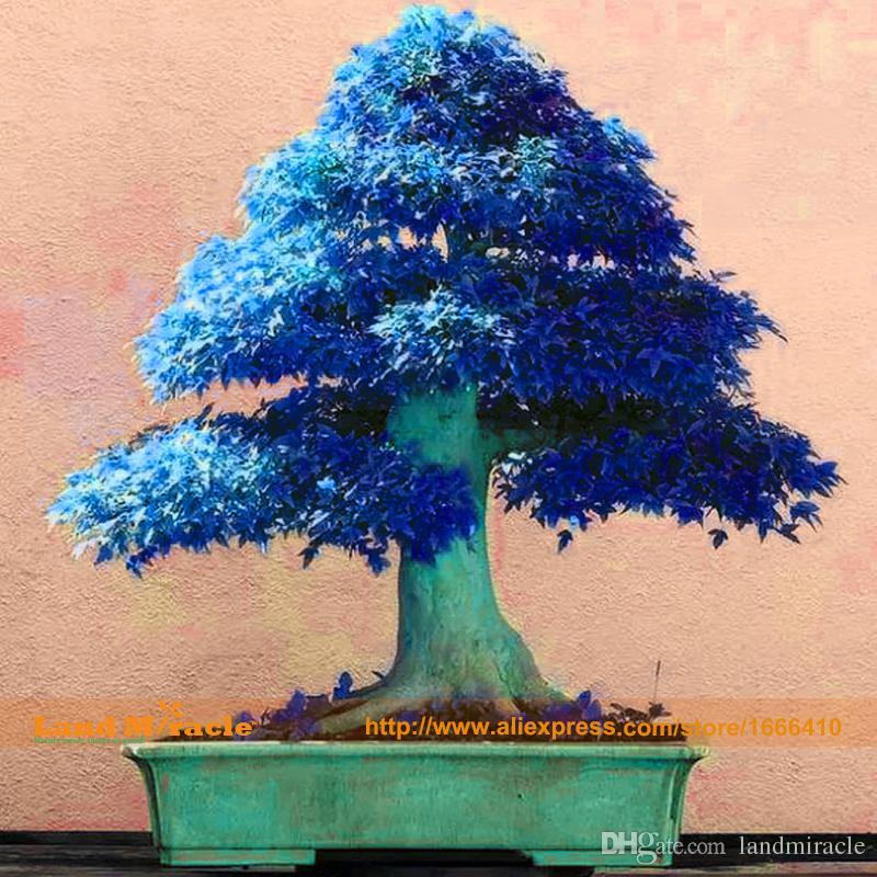 Grosshandel 10 Samen Pack China Ahornbaum Bonsai Baum Samen