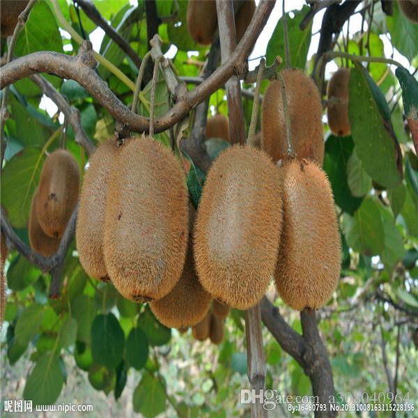 2019 rare kiwi seeds tree seeds bonsai tree seeds home