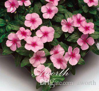 2018 pink madagascar periwinkle flower 100 seeds catharanthus roseus 2018 pink madagascar periwinkle flower 100 seeds catharanthus roseus vinca for summer drought tolerant balcony yard container bonsai flower from aworth mightylinksfo