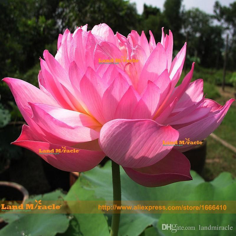 Doppia semi di loto rosso rosa, 1 semi / pack, ninfea Nymphaea Nelumbo Nucifera Pond Flower Flower