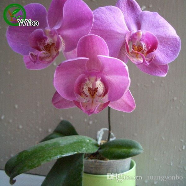 mélanger Moth orchid Seeds Bonsaï Graines De Fleurs Plantes En Pot Fleurs 30 Particules / Sac E024