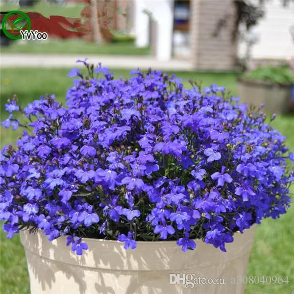 2019 Blue Lobelia Seeds Bonsai Flower For Indoor Rooms Seed 100