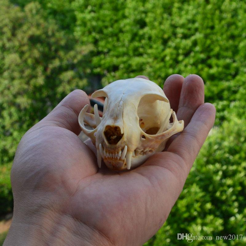 Verdadeiro animal genuíno crânio esqueleto gato taxidermia suprimentos arte medicina veterinária osso