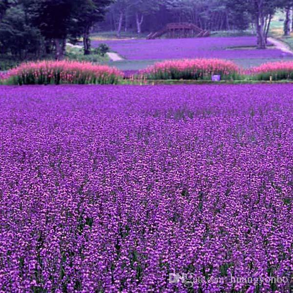 Lila Lavendel Samen Blumensamen Indoor Bonsai pflanze 50 partikel / T010
