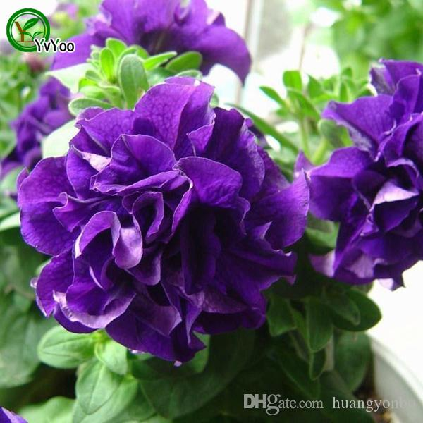 Petunia Seeds Bonsai Flower Plant Seeds Very Fragrant 200 Particles / E021