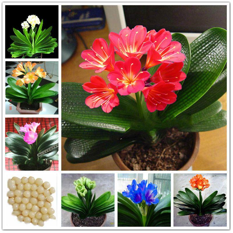 Compre real clivia sementes de plantas bonsai jardim for 5 plantas decorativas