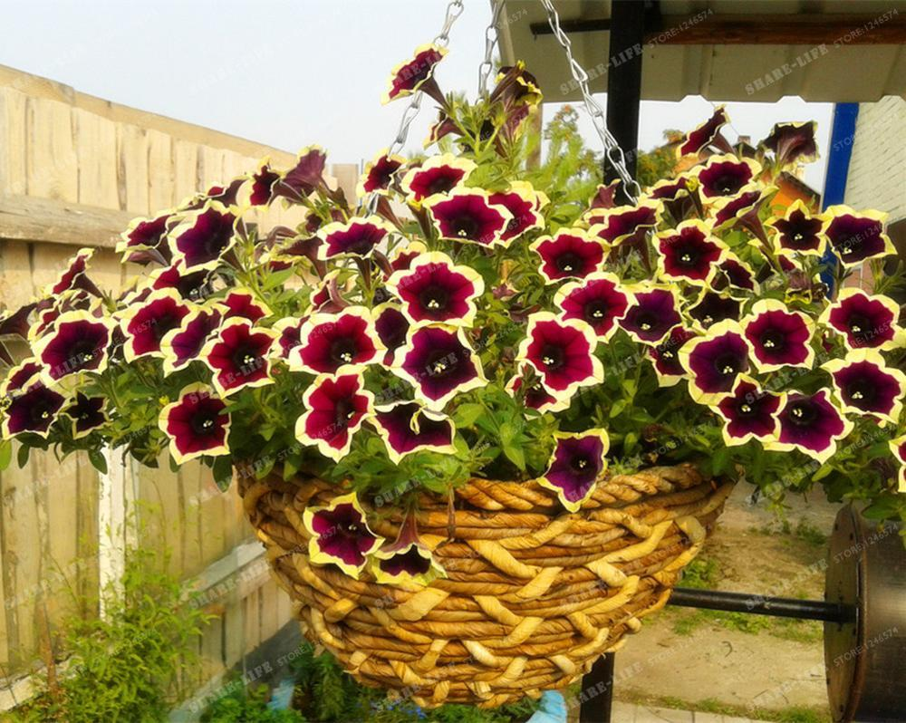 200pcs cascadia rim magenta petunia seeds dark purple blooms with cream edge flower seeds for home bonsai plants for decoration