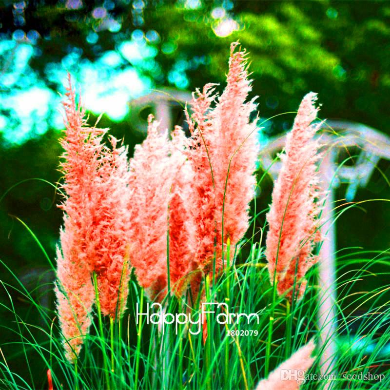 New Rare Impressive Purple Pampas Grass Seeds Ornamental home garden Plants Flowers seeds Cortaderia Selloana bonsai pot