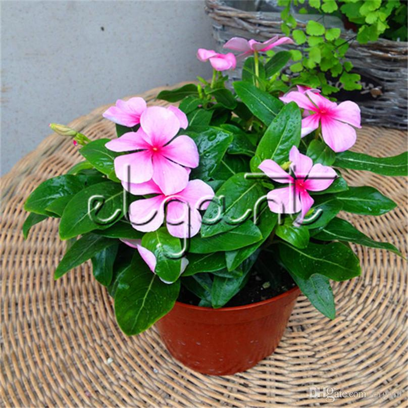 DHgate.com & Dark Pink Madagascar Periwinkle Flower 100 Seeds Catharanthus roseus Vinca Easiest flowers to grow for Summer Bonsai Pot Balcony Container