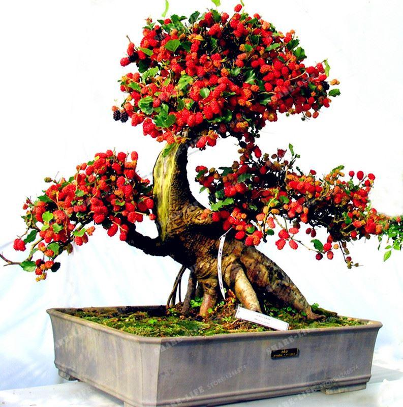 100 PZ Semi di Gelso Dolce Bacca Nera Piante Giganti Miracolo Seme di Frutta Tohum Rare Albero Bonsai Giardino Cespuglio Fai Da Te Giardino di Casa