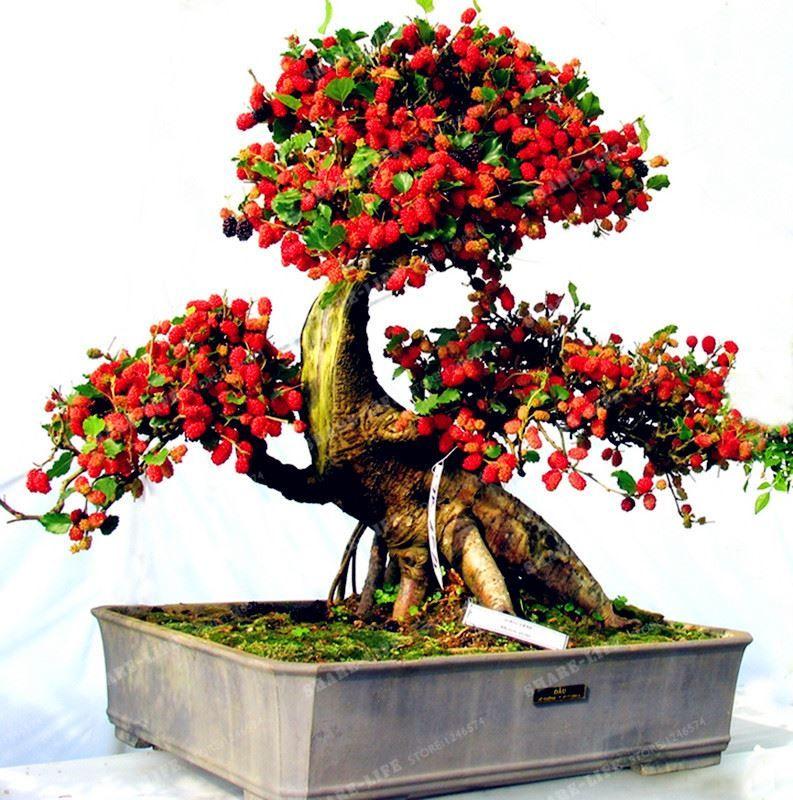 100PCS Mulberry Seeds Sweet Black Berry Giant Plants Miracle Fruit Seed Tohum Rare Tree Bonsai Garden Bush Diy Home Garden