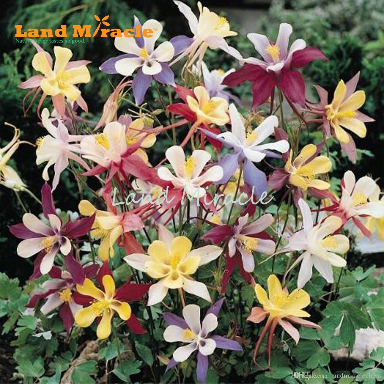 Online Cheap 1 Original Pack 50 Seeds Pack Mix Columbine
