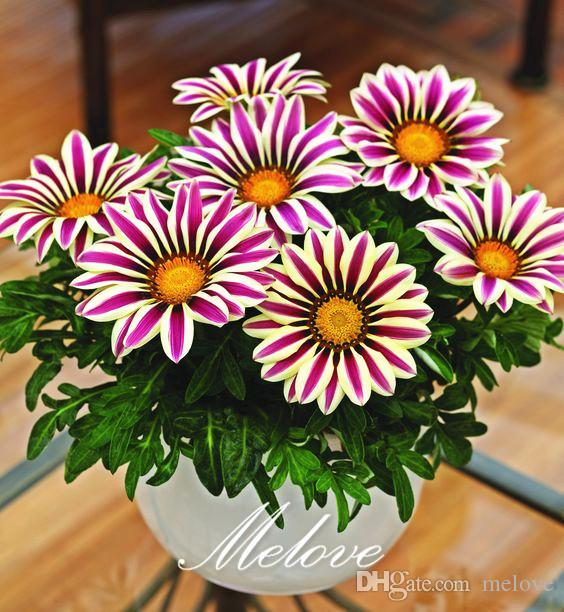2018 gazania flower seeds treasure flower mix color easy growing perennial plant for diy home. Black Bedroom Furniture Sets. Home Design Ideas