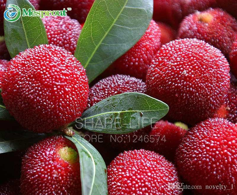 5 STÜCKE Myrica Rubra Samen, Chinese Red Bayberry, Myrica rubra saftige saftige Frucht Pflanze Waxberry Tree Bonsai