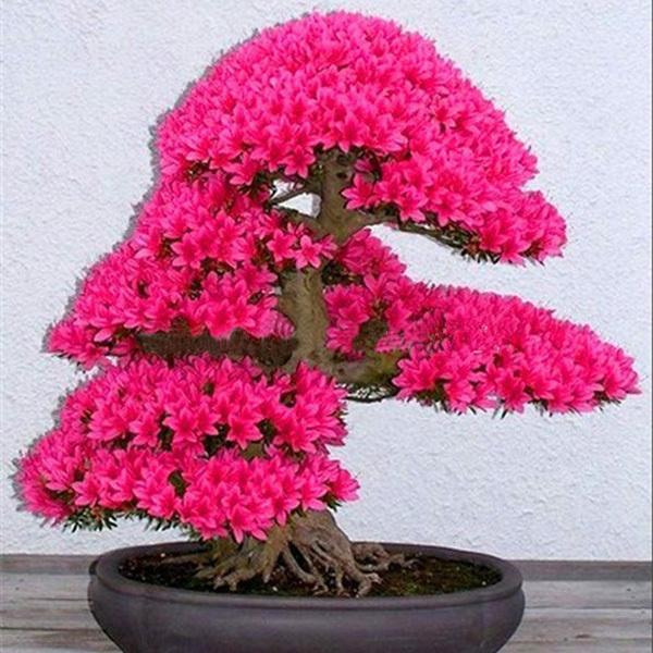 10pcs / Bag Japanese Sakura Seeds Bonsai Tree Seed Flower Garden Seeds Cherry Blossoms mixed color
