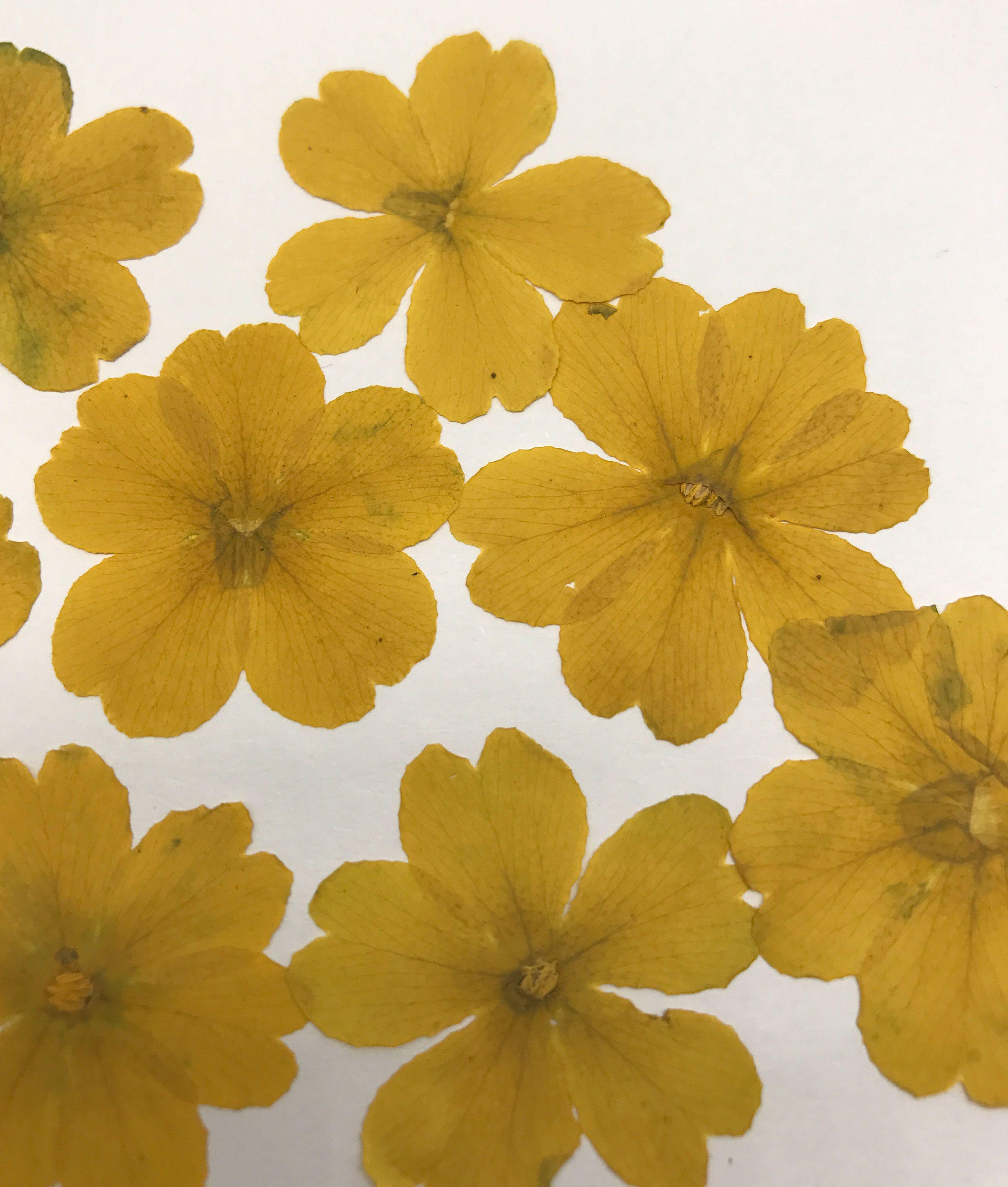 2018 Yellow Primrose Flowers Dried Flower Diy Phone Case Handmade