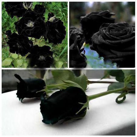 Acheter Des Roses Noires acheter rare fleurs de roses noires rare incroyablement belle rose