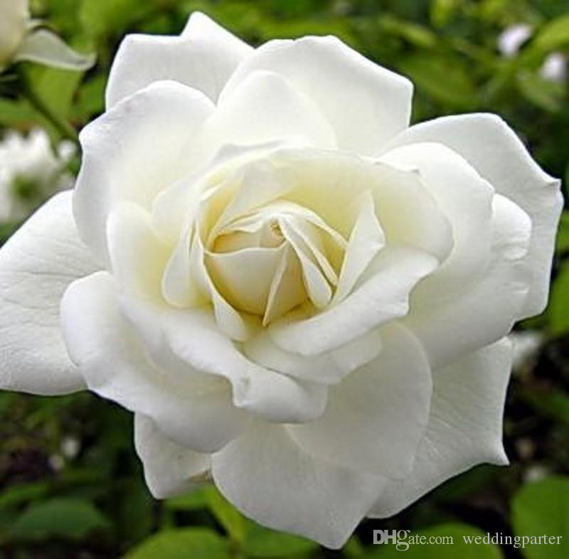 Compre Hermosas Semillas De Rosas Blancas Plantas De Bonsai Semillas