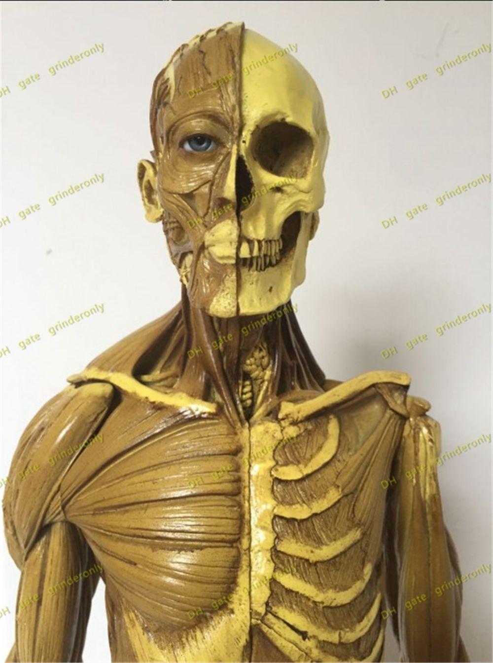 Dental 60cm Male Figure General Use V1a Anatomical Model Of Anatomy