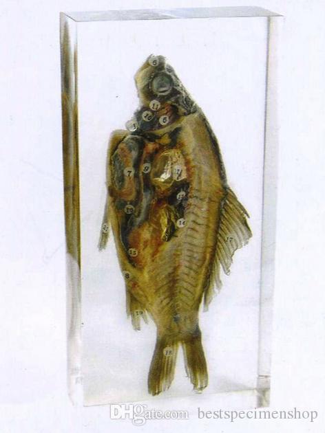 Tintenfisch Tintenfisch Exterieur Probe Tierprobe in Acrylblock Briefbeschwerer Harz Sammlung Display Wasserlebewesen Wissenschaft Bildung Klassenzimmer