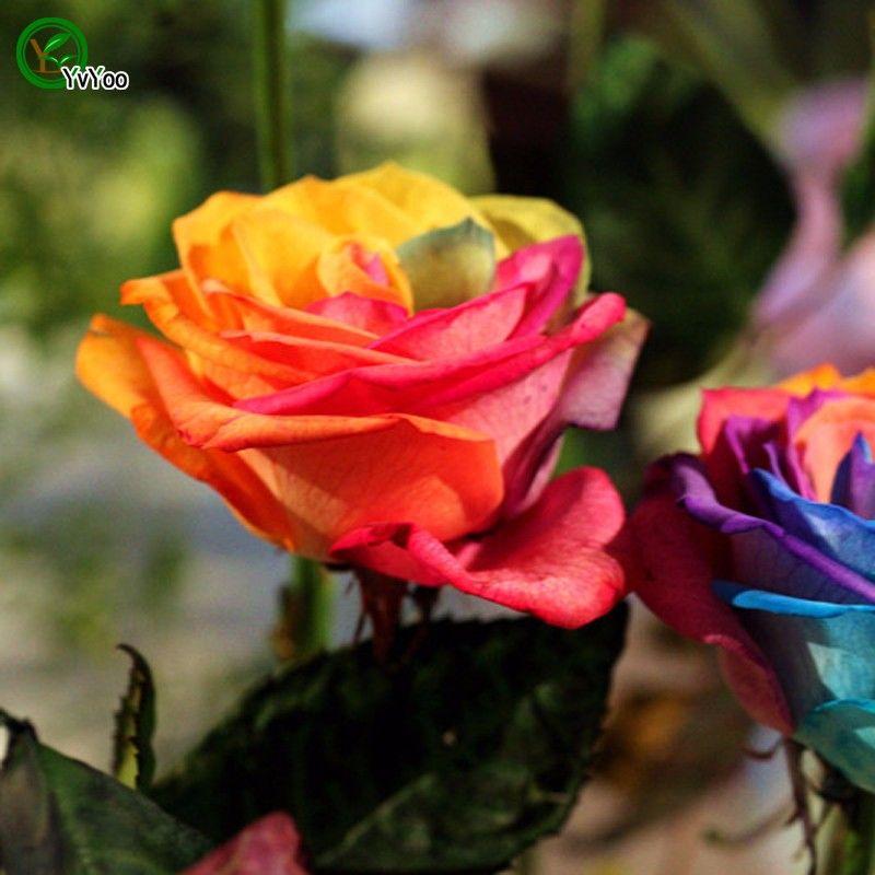 Jardin des plantes Rainbow Rose Belle Graines multi-couleur plante extérieur graine Rose R34