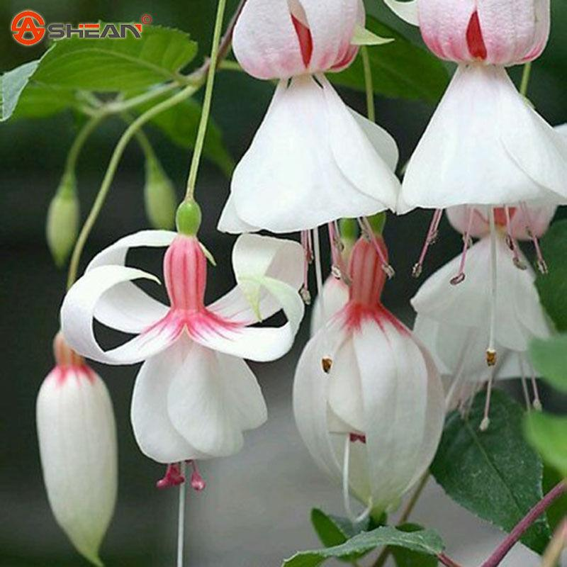 Wholesale50 White Fuchsia Seeds Potted Flower Seeds Potted Plants